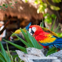 Попугаи в Шель-Ха